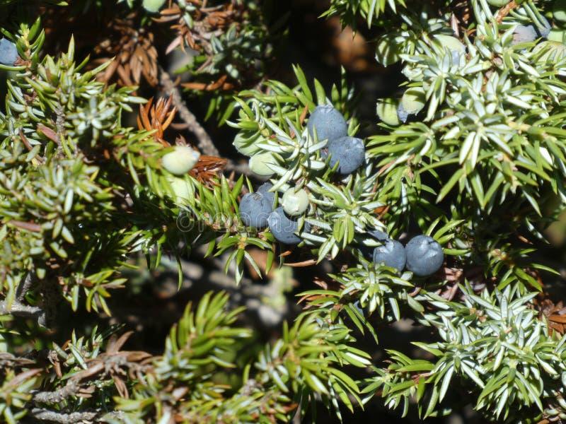 Enbuske med blåa fruktberrys royaltyfria bilder