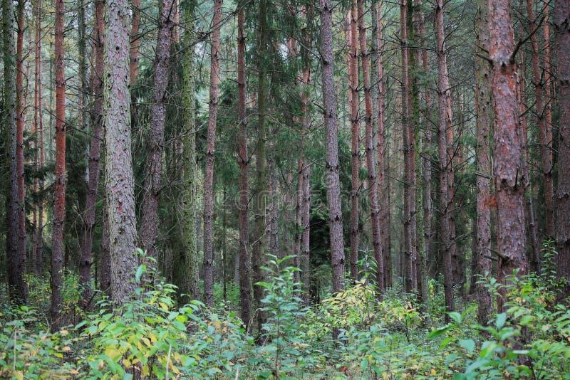 Encadré de pins sauvages et d'épinettes photographie stock libre de droits