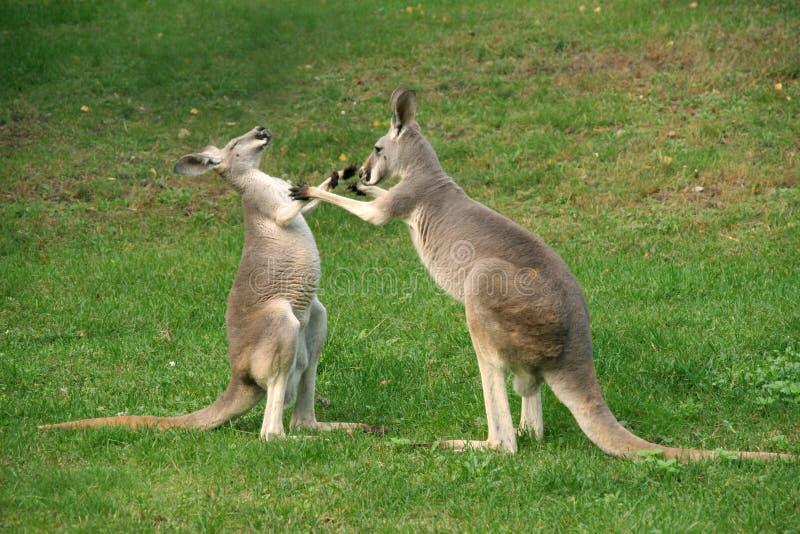 Encaixotamento do canguru imagens de stock