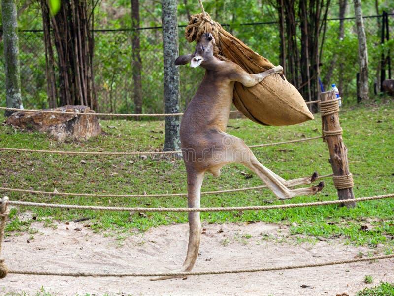Encaixotamento do canguru em Tailândia imagem de stock royalty free