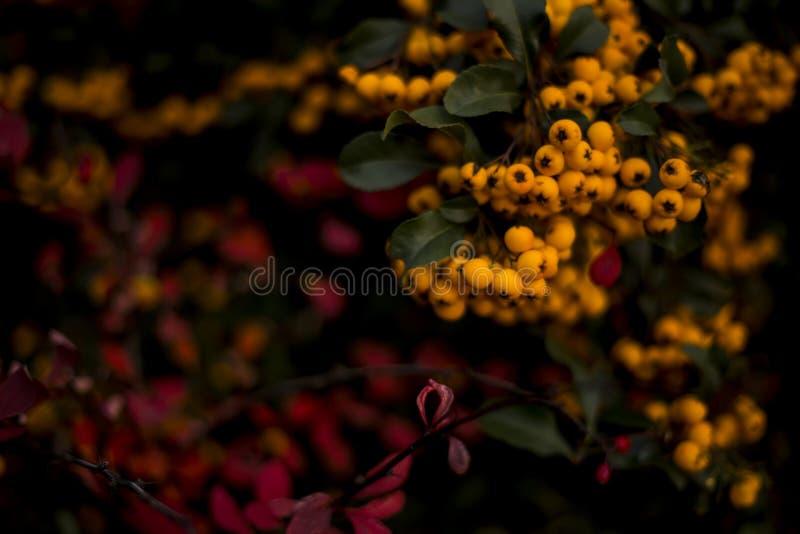 Encantador anaranjado, Pyracantha foto de archivo