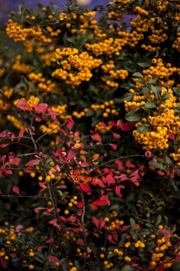Encantador anaranjado, Pyracantha imagen de archivo libre de regalías
