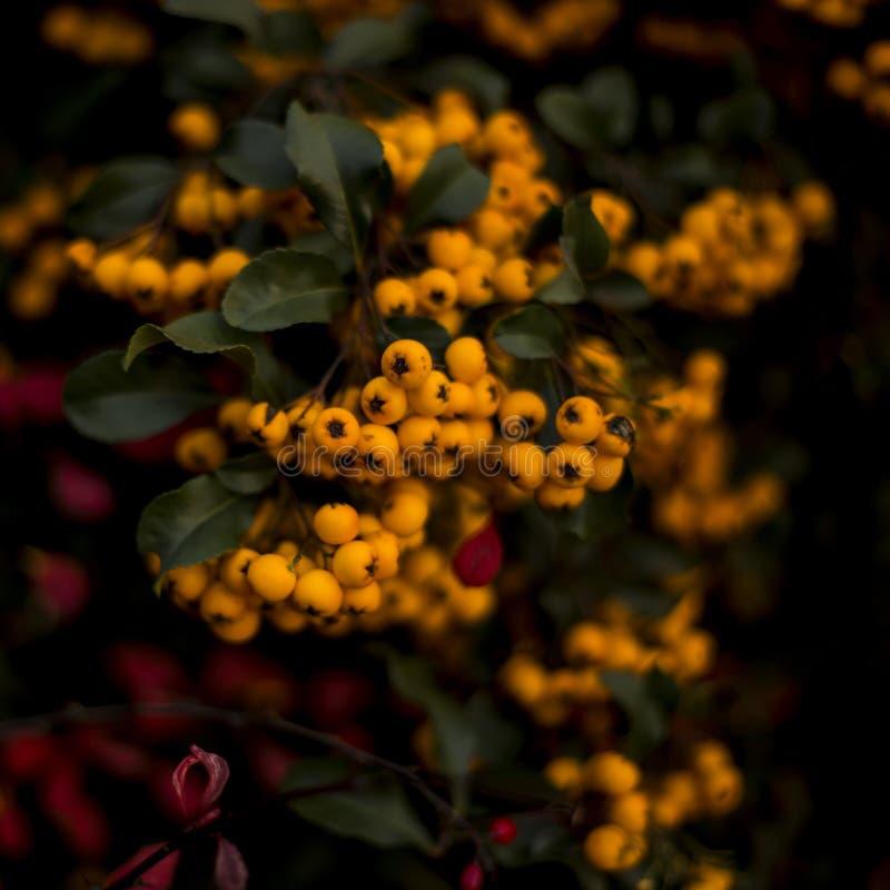 Encantador anaranjado, Pyracantha fotografía de archivo libre de regalías