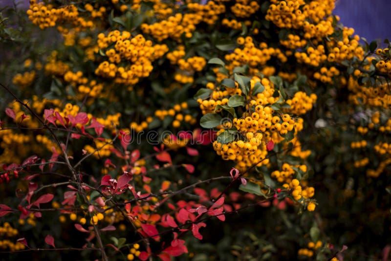 Encantador anaranjado, Pyracantha fotografía de archivo