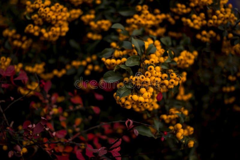 Encantador anaranjado, Pyracantha foto de archivo libre de regalías