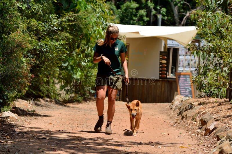 Encargado de parque zoológico de sexo femenino joven que camina un dingo en el parque zoológico en Australia foto de archivo libre de regalías