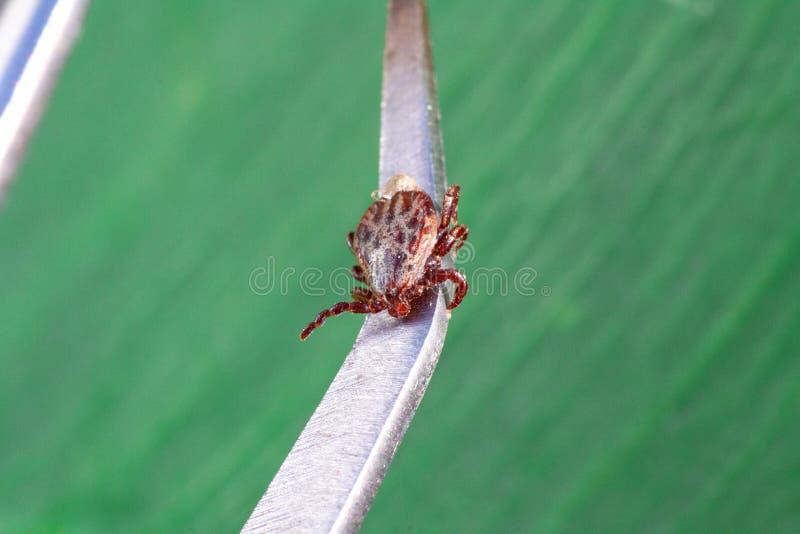 Encefalitvirus eller Lyme Borreliosis sjukdom royaltyfri bild