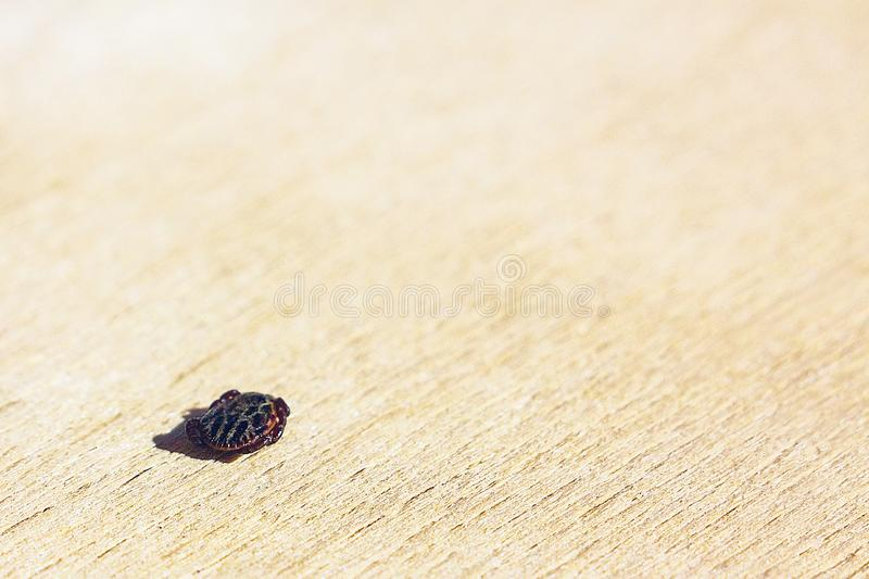 The encephalitis mite. Encephalitic mite shrank and lies on the table pretending to be dead royalty free stock photo