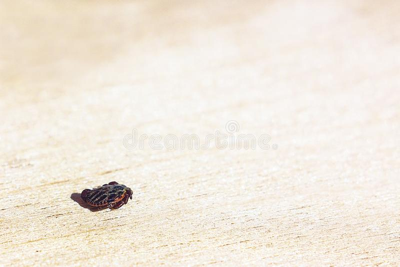 The encephalitis mite. Encephalitic mite shrank and lies on the table pretending to be dead stock photo