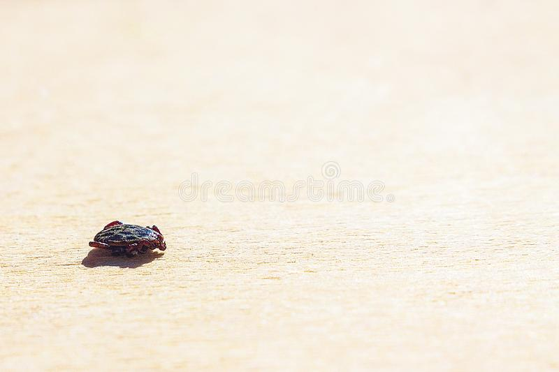 The encephalitis mite. Encephalitic mite shrank and lies on the table pretending to be dead royalty free stock images