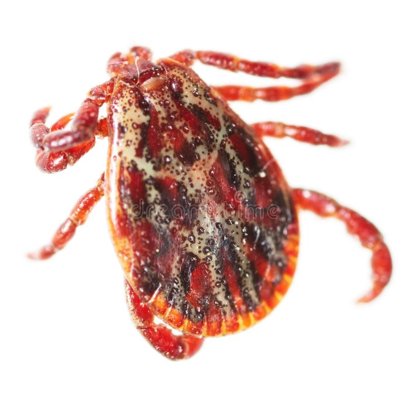 Encephalitis tick isolated on white background. Macro stock images