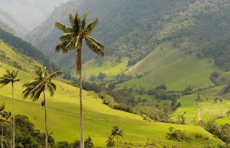 Encere palmeiras do vale de Cocora, Colômbia imagens de stock
