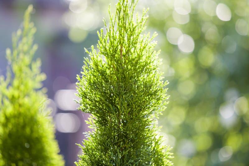 Encerramento de folhas verdes de natal de thuja sobre fundo verde dos boques Peruca de coníferas occidentalis evergreen, também fotografia de stock royalty free
