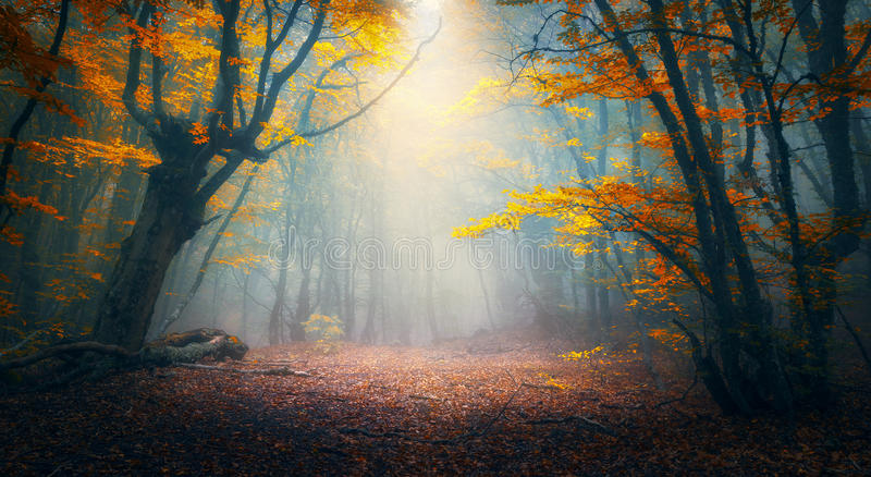 Enchanted autumn forest in fog in the morning. Old Tree. Fairy forest in fog. Fall woods. Enchanted autumn forest in fog in the morning. Old Tree. Landscape with royalty free stock photos