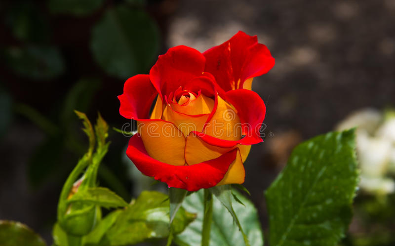Enchanted bi-colored rose red and yellow stock photo