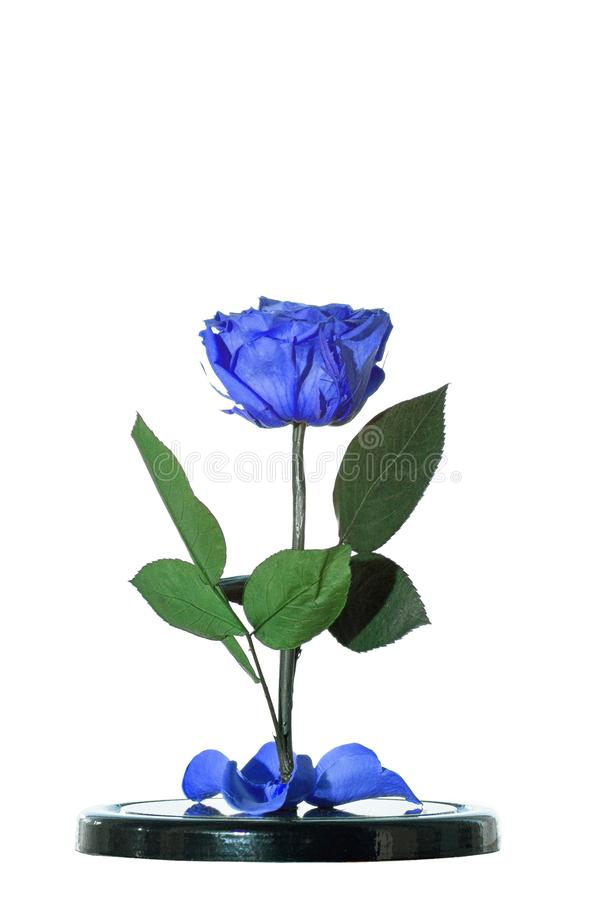 Enchanted blue rose on white background. Beauty and the Beast Rose. Preserved rose, preserved flower royalty free stock photos