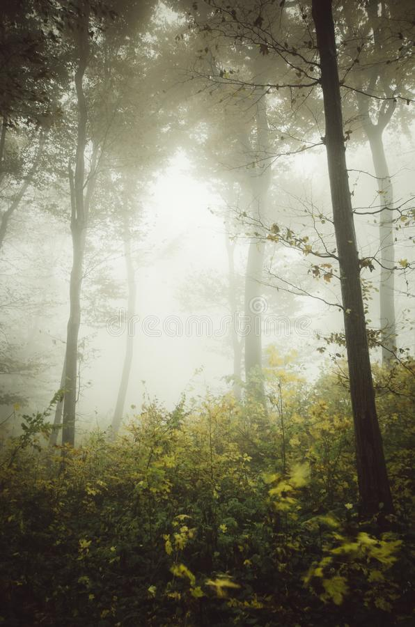 Enchanted forest background with fog. Mysterious foggy forest with fog in Transylvania in autumn stock image