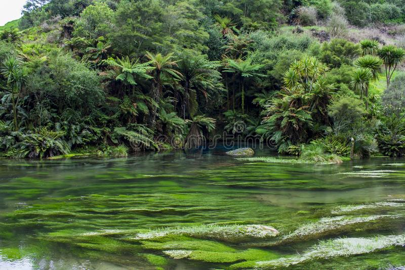 Enchanted landscape with pure clear waterand and a magical blue pool surronded by forest trees. Blue Spring, Te Waihou Walkway, New Zealand stock photos
