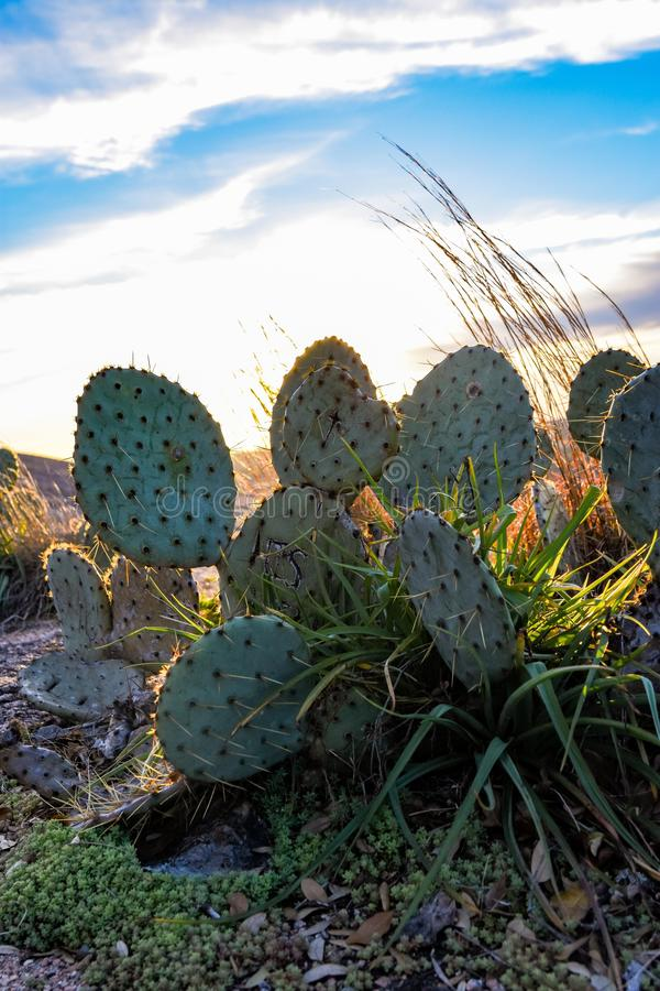 Enchanted Rock Cactus royalty free stock images