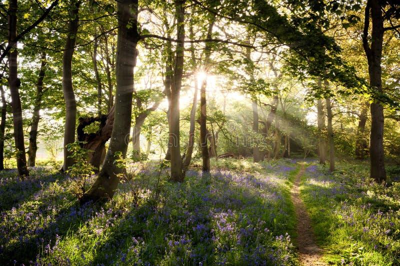 Enchanting bluebell woodland path and sunrise stock photos
