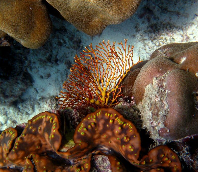 Encienda el coral en el filón en el Mar Rojo fotografía de archivo libre de regalías
