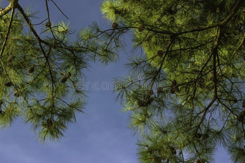 Encima de la vista de los árboles de pino y del cielo azul del claro con los conos del pino claramente visibles fotos de archivo