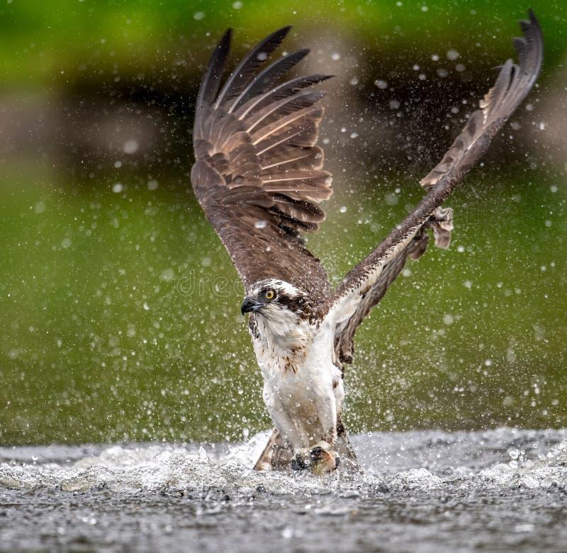 Encima del tiro cercano de Osprey que coge un pescado imagen de archivo