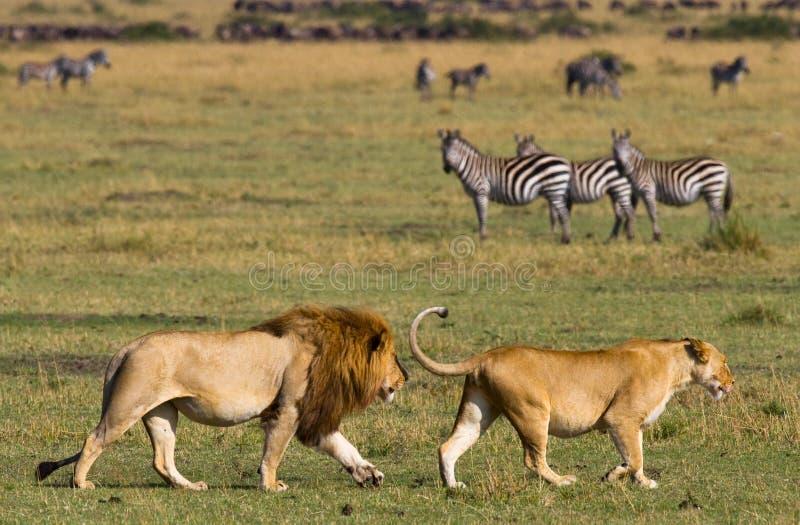 Encontrando o leão e a leoa no savana Parque nacional kenya tanzânia Masai Mara serengeti fotografia de stock royalty free