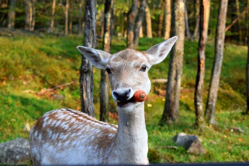 Encontrando um cervo na natureza selvagem com sua cenoura foto de stock royalty free