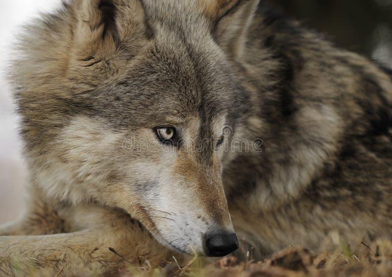 Encontrar-se para baixo lobo de madeira olha direito fotos de stock royalty free