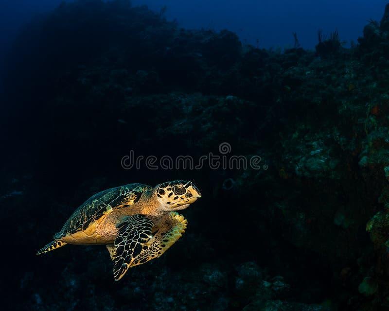 Encontro da tartaruga de Hawksbill perto do Cay francês nos turcos & na ilha de Caicos imagens de stock royalty free