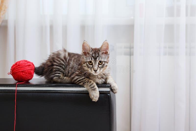 Encontro de cauda cortada do gato fotografia de stock royalty free