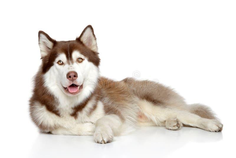 Encontro do cão do cão de puxar trenós Siberian foto de stock