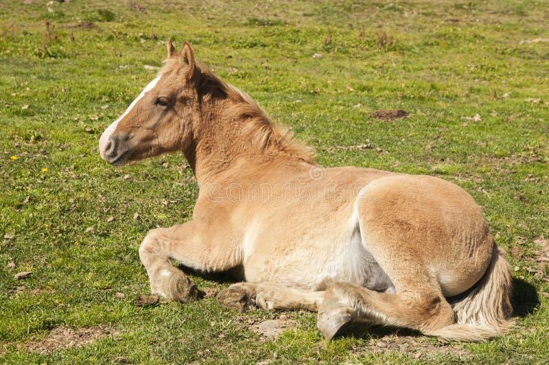Encontro do cavalo fotos de stock