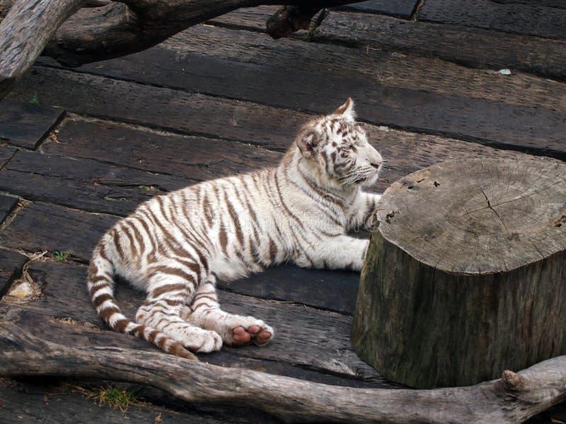 Encontro do tigre imagens de stock