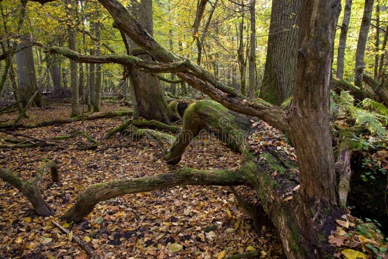 Encontro envolvido grande musgo da árvore de carvalho foto de stock royalty free