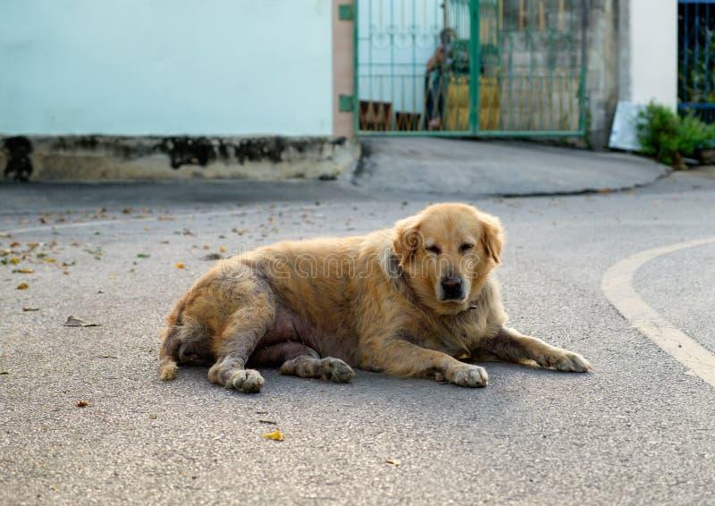Encontro escabioso sarnento do golden retriever do cão só fotografia de stock royalty free