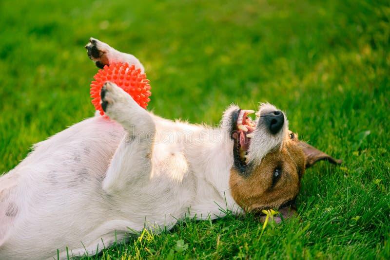 Encontro feliz de sorriso do cão de cabeça para baixo no brinquedo do animal de estimação da terra arrendada da grama verde nas p imagem de stock