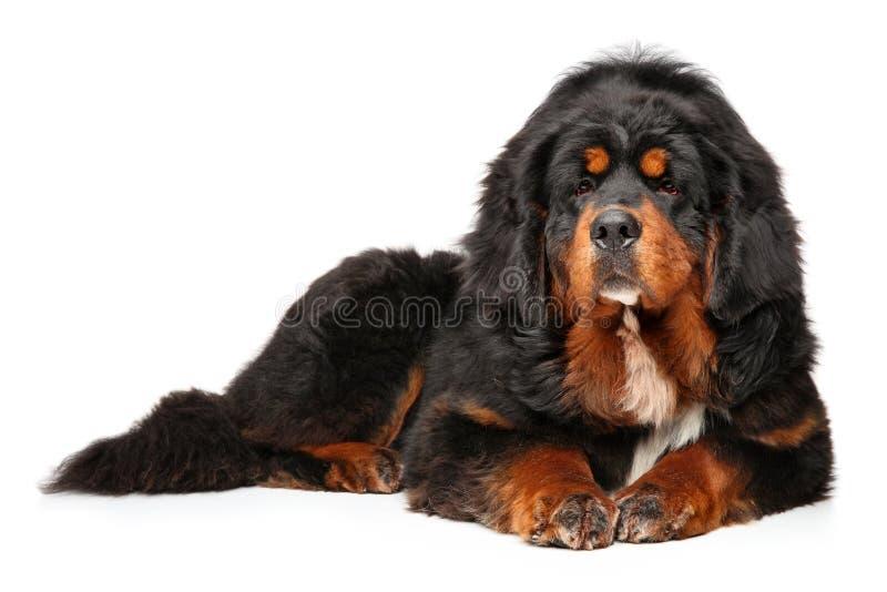 Encontro gracioso do cão do mastim tibetano fotos de stock