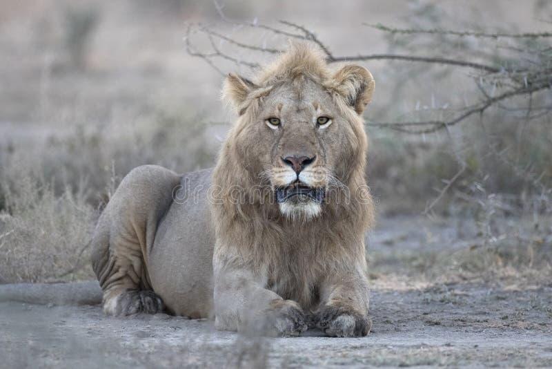 Encontro livre selvagem do retrato do leão imagens de stock