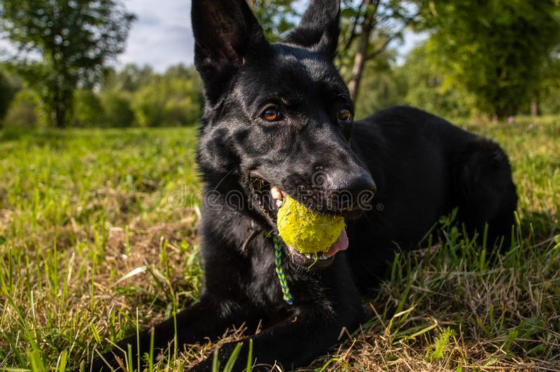 Encontro no cão preto da grama com a bola de tênis em sua boca no dia ensolarado fotos de stock royalty free