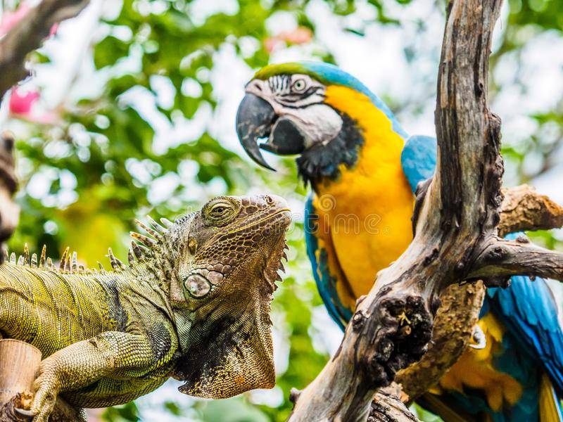 Iguana and Blue and Gold Macaw. Encounter of iguana and Blue and Gold Macaw on a tree branch in lush jungle greenery stock photography