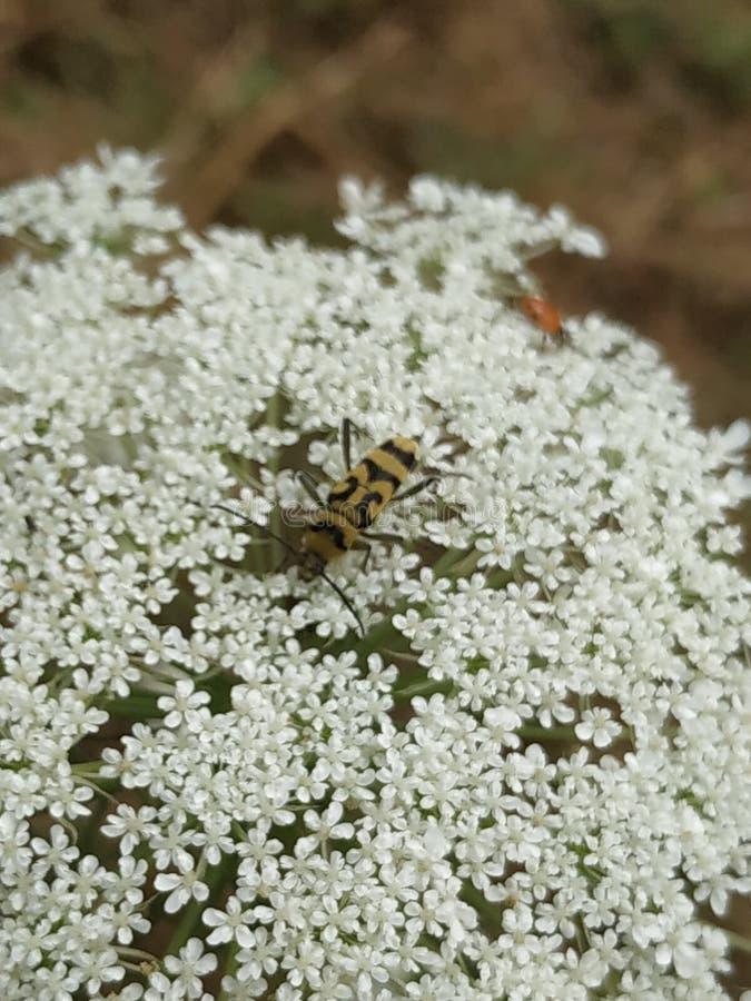 Encounter between Yellow longhorn beetle with ladybug stock photo