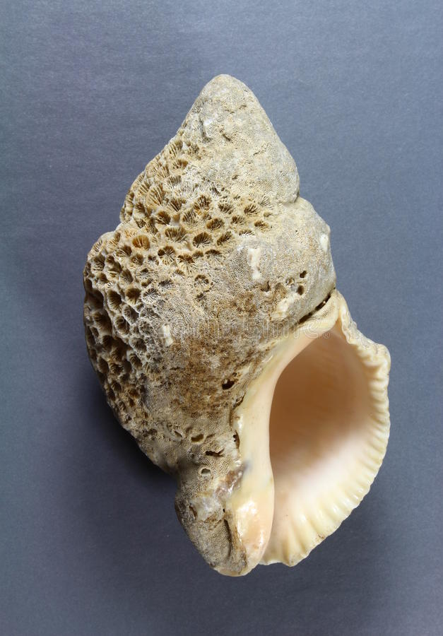 Encrusted seashell royalty free stock images