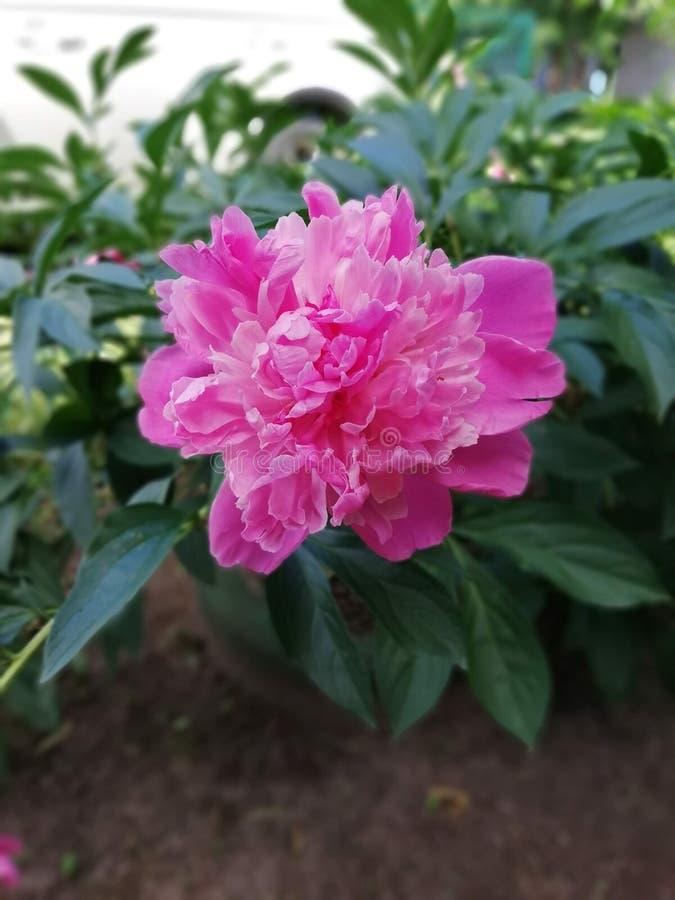 Encuentre el moov en la flor de la peonía foto de archivo libre de regalías