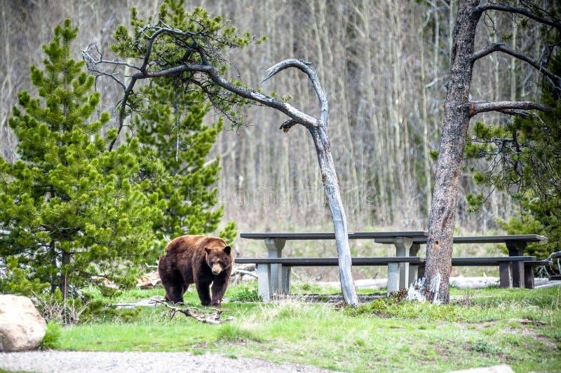 Encuentro 1 del oso grizzly foto de archivo