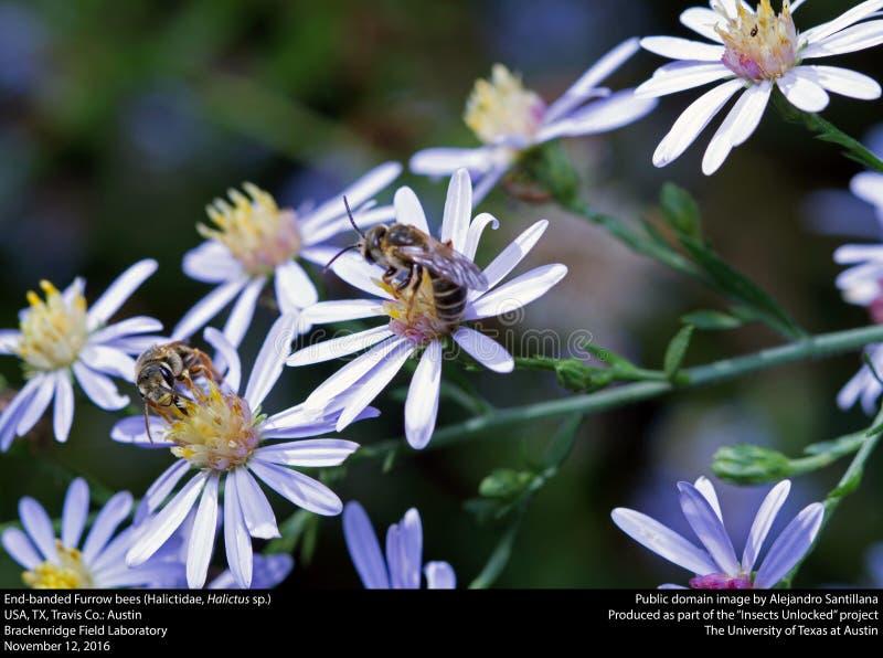 End-banded Furrow Bees (halictidae, Halictus Sp.) Free Public Domain Cc0 Image