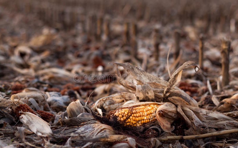 The End of Corn royalty free stock image