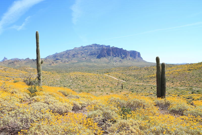 USA, AZ: Blooming Sonoran Desert - Landscape. At the end of March Brittlebush flowers are in full bloom in the Sonoran Desert. (Superstition Mountains in royalty free stock photo