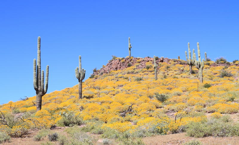 USA, AZ: Sonoran Desert - Blooming Hilltop. At the end of March Brittlebush shrubs are in full bloom in the Sonoran Desert. (Prickly pear, Buckhorn Cholla royalty free stock photo